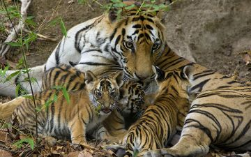 Tigress and Cubs