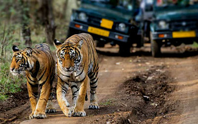 Best Tiger Safari Tour of India