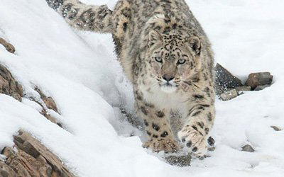 Snow Leopard Safari